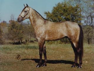 Leider gab es auf der Pferd & Jagd einige Fehlinformationen zur Rasse der Single Footing Horses