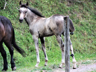 Number of Speed Racking Horses in Europe increases to 32 in 2018