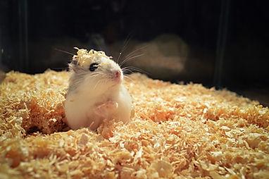 hamster-4017846_1920.jpg