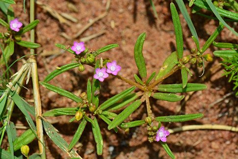 Gisekia pharnacioides