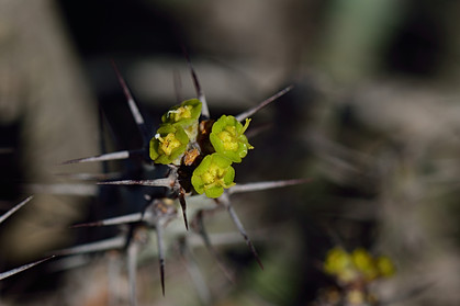 Euphorbia schinzii
