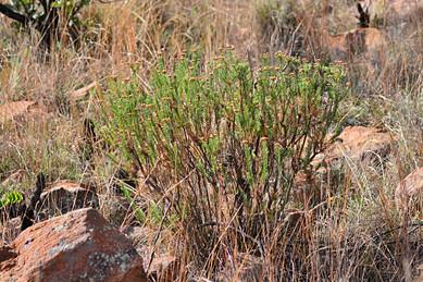 Phymaspermum athanasioides