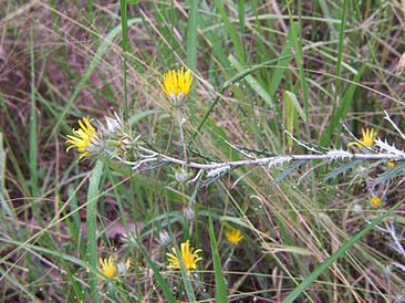 Berkheya carlinopsis