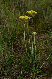 Helichrysum coriaceum
