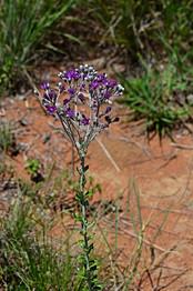 Hilliardiella oligocephala