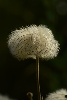 Clematis villosa