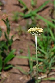 Helichrysum pallidum