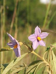 Solanum panduriforme