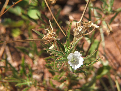 Monsonia angustifolia