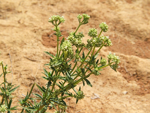 Agasithanthemum bojeri