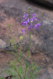 Cleome maculata