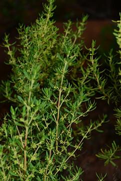 Anthospermum hispidulum