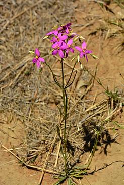 Chironia palustris