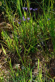 Lapeirousia sandersonii