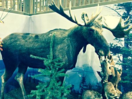 A Stuffed Moose.