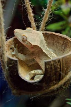 Lézard gecko à crête Correlophus