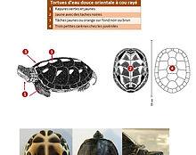ID 5 espèces tortues aquatiques couvertu