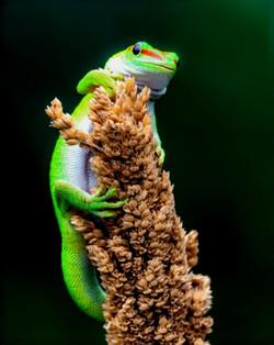 Lézard gecko Phelsuma