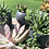 Thumbnail: Succulents add on for local Delivery