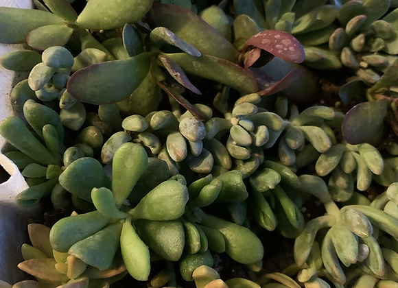 Succulents add on for local Delivery