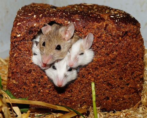 Four small White Brown Mice