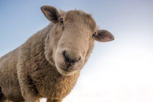 Gros plan d'un mouton regardant la caméra