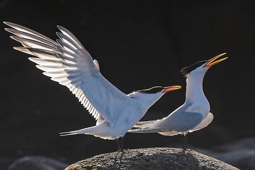 Elegant Terns by Carlos Navarro