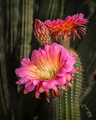 Flying Saucer Torch Cactus photographed by Jay Pierstorff