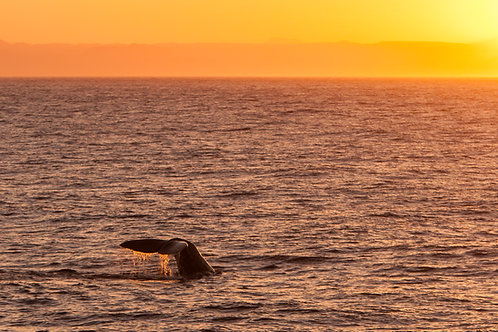 Sperm Whale Sunset by Carlos Navarro