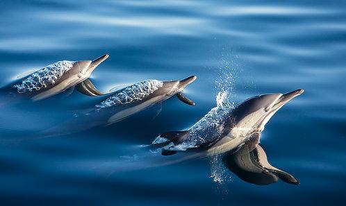 Common Dolphins by Carlos Navarro