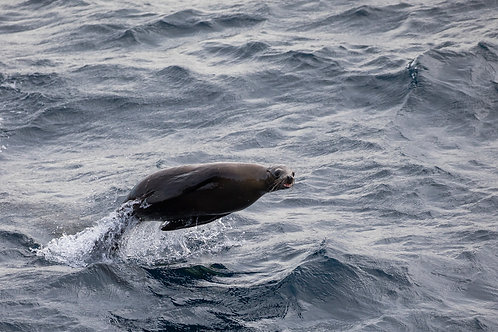 California Sea Lion Feeding by Carlos Navarro