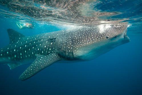 Whale Shark by Carlos Navarro