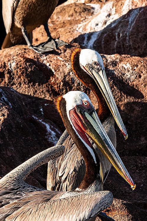 Grey Pelicans Posing by Pilar Salido