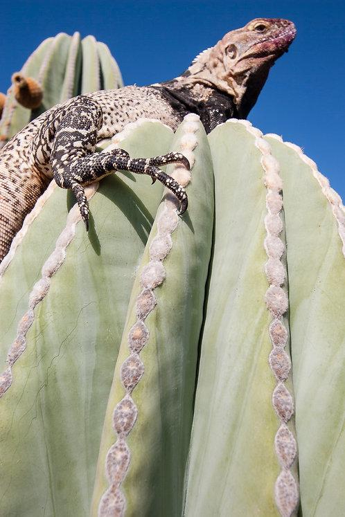 San Esteban Spiny Tailed Iguana by Carlos Navarro