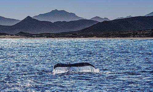 Gray Whale Tail by Pilar Salido