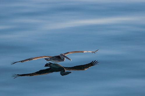 Pelican Reflection by Carlos Navarro