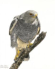 Gray Hawk by artist Priscilla Baldwin