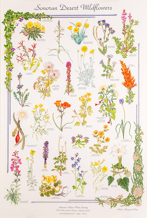 """Sonoran Desert Wildflowers "" Poster by Margaret Pope"