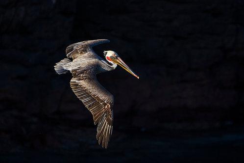 Brown Pelican by Carlos Navarro