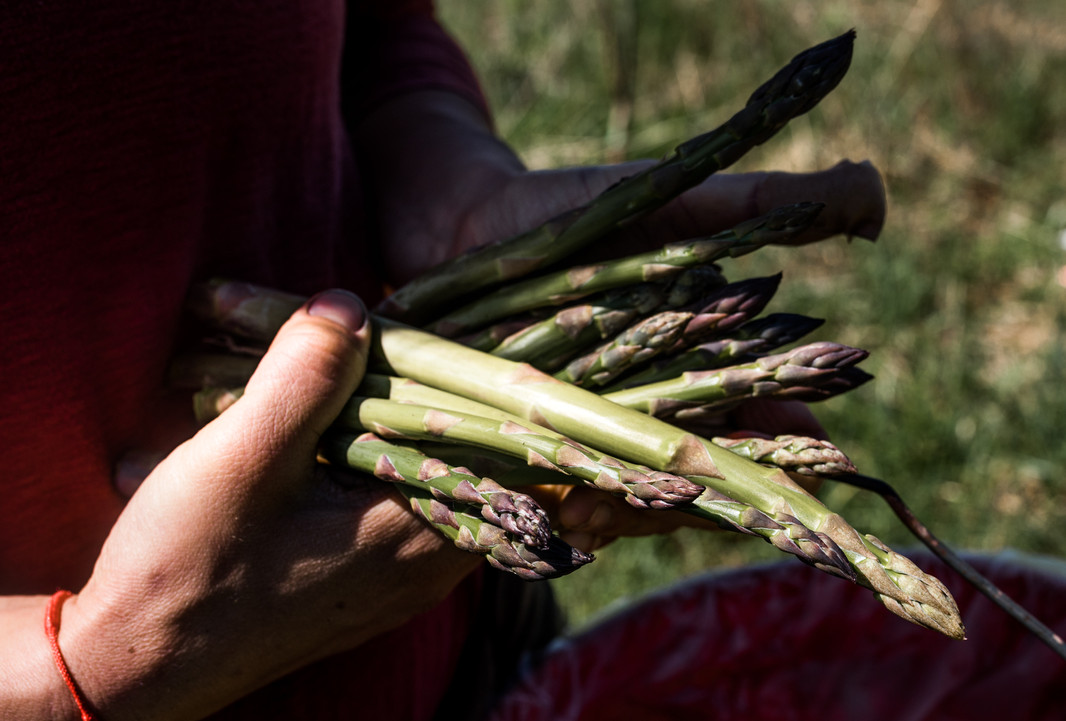 asparagus spears from anthill farm agroforestry