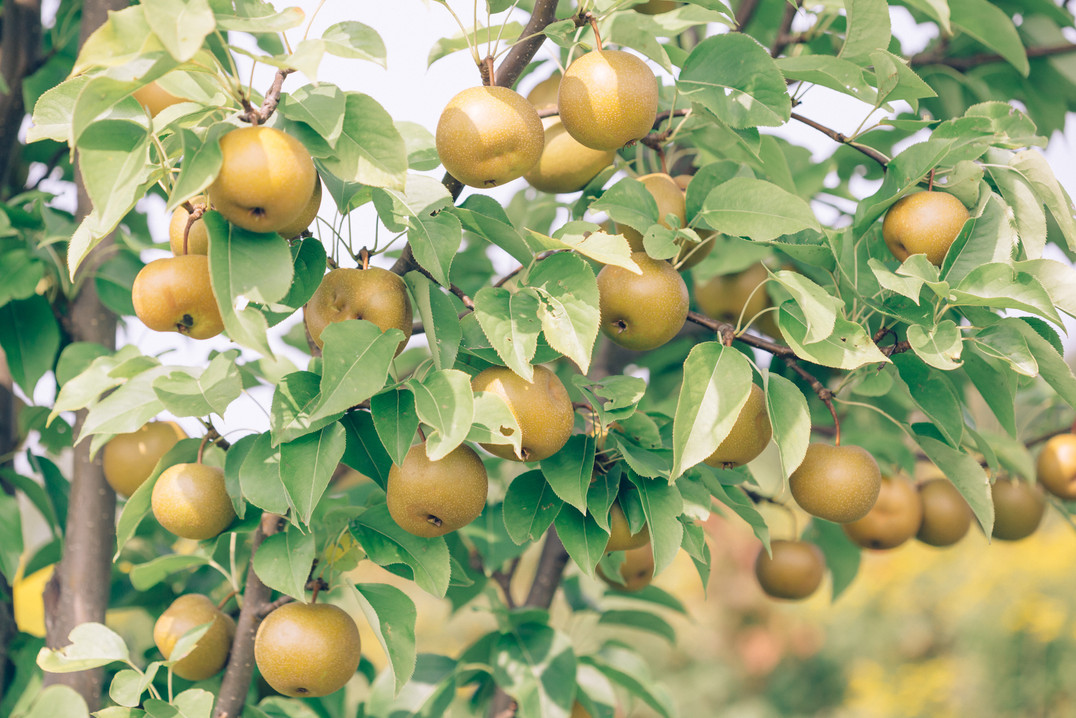 asian pears from anthill farm agroforestry