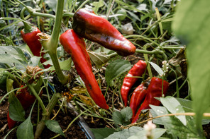 peppers anthill farm agroforestry