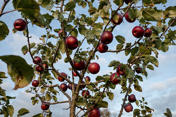 red apples on an apple tree anthill farm agroforestry
