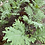 Thumbnail: Red Russian Kale