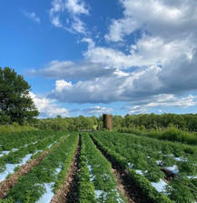 rows of hemp at anthill farm agroforestry
