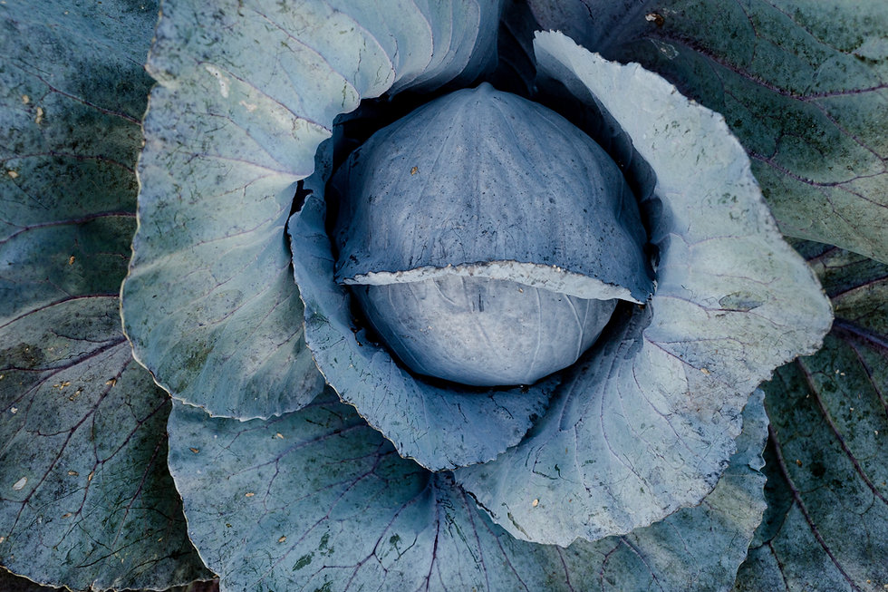red cabbage at anthill farm agroforestry