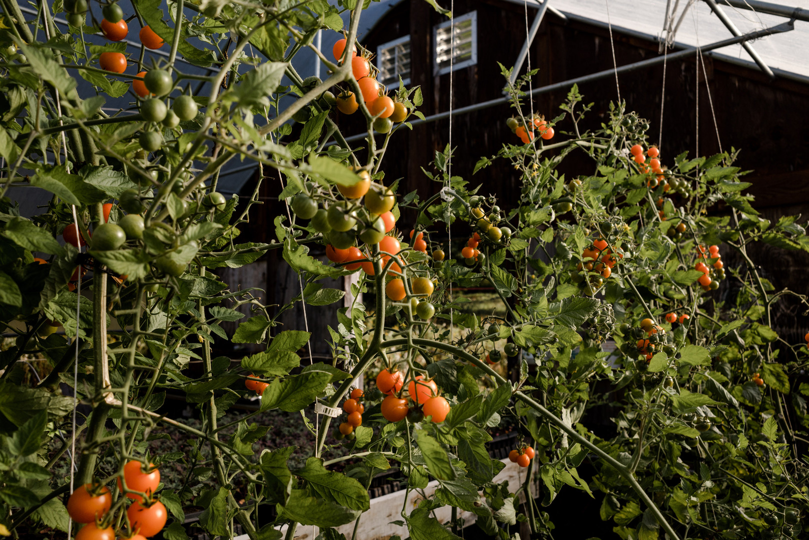 tomatoes growing on the vine at anthill farm agroforestry