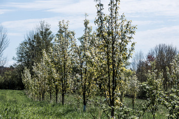 fruit trees in blossom at anthill farm agroforestry