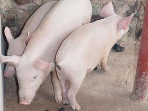 Update on the Ebenezer Piggery in Zambia
