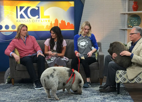 KC Live with KC Pig Rescue Network